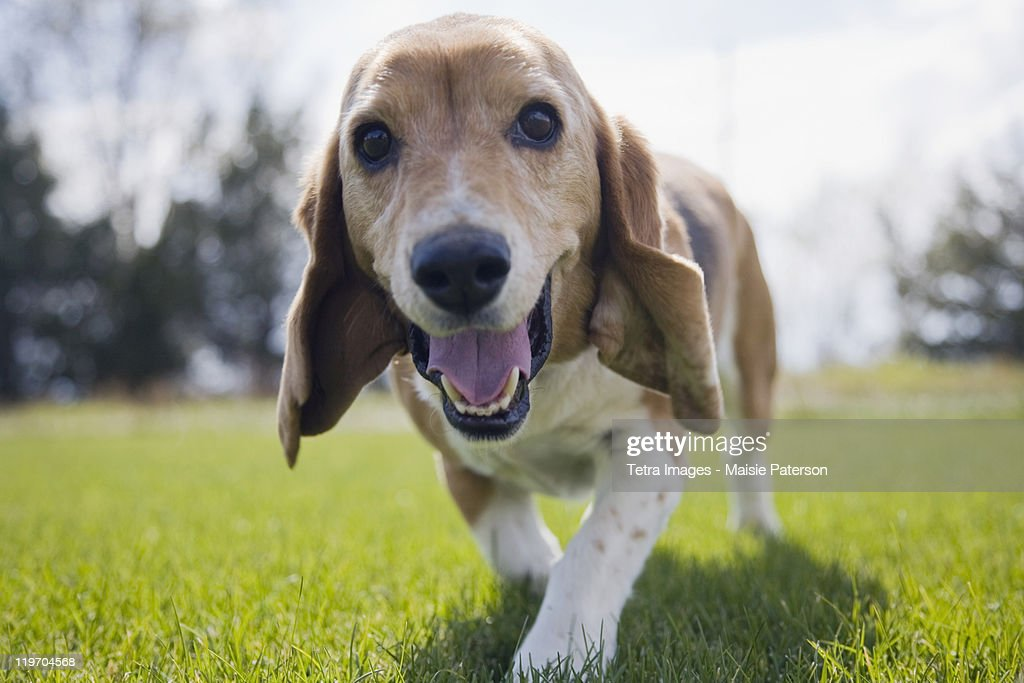 USA, Colorado, curious dog walking towards camera : Stock Photo