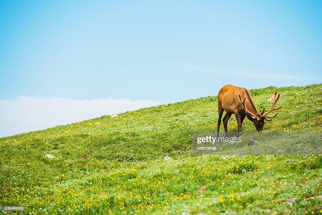 Colorado Elk Alpine Meadow : Stock Photo