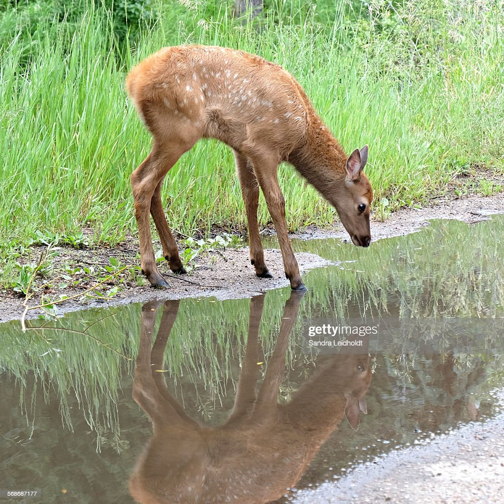 Colorado Elk Calf at Water Puddle : Stock Photo
