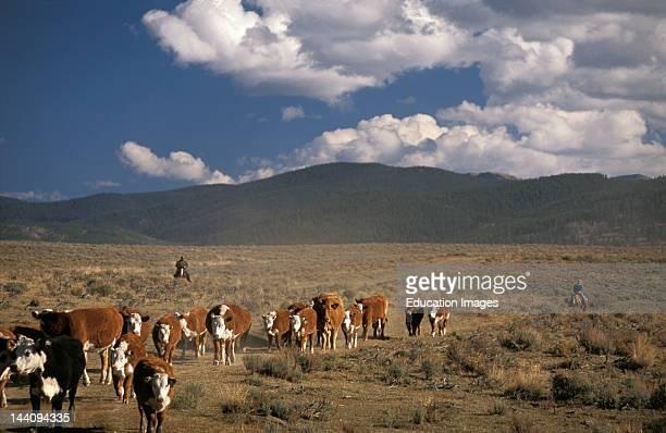 Colorado Gunnison Cattle Drive At White Pine Ranch