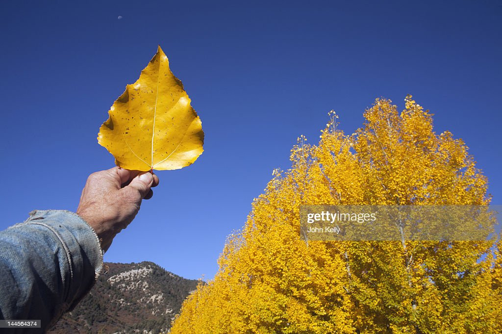 USA, Colorado, Hand holding yellow leaf against blue sky : Stock Photo