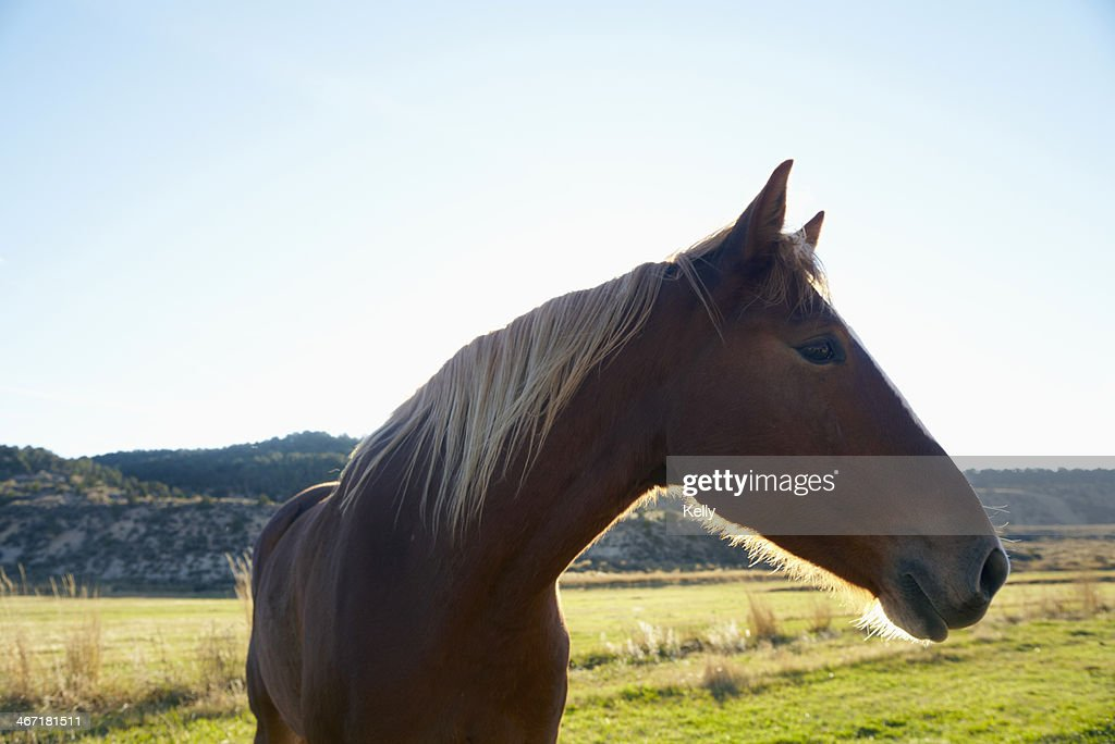 USA, Colorado, Horse on field : Stock Photo