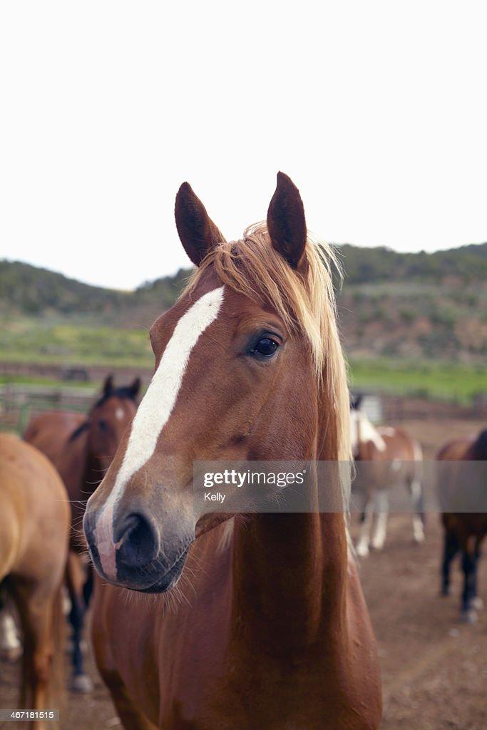 USA, Colorado, Horses on field : Stock Photo