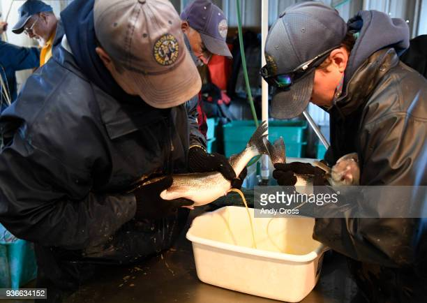 Colorado Parks and Wildlife native aquatics species biologist Paul Foutz left and CPW aquatic biologist Carrie Tucker squeeze out eggs from a walleye...