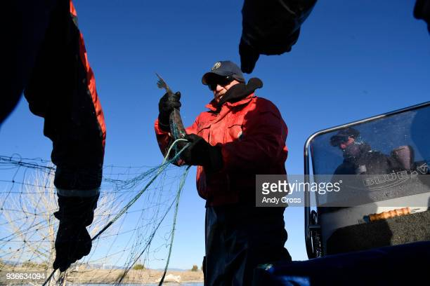 Colorado Parks and Wildlife technician Jim Yengich center untangles a walleye fish from a net at the Lake Pueblo State Park caught during the annual...