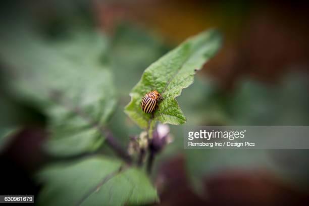 Colorado Potato beetle (Leptinotarsa decemlineata) on a leaf