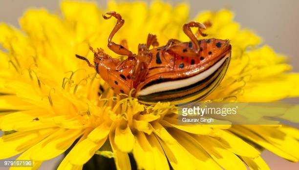 colorado potato beetle - beetles with pincers stock pictures, royalty-free photos & images