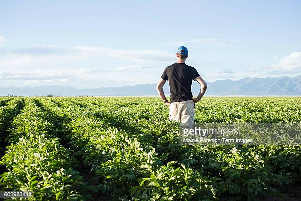usa, colorado, rear view of mature man standing in field - potato harvest stock pictures, royalty-free photos & images