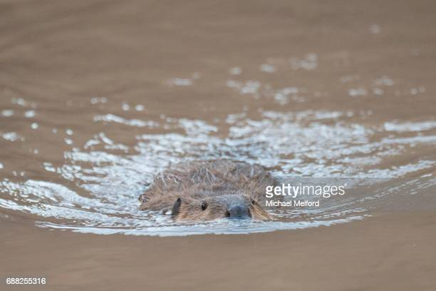 Colorado River mile 94 -  North American beaver (Castor canadensis) in the Grand Canyon