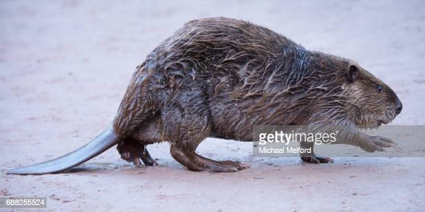 colorado river mile 94 -  north american beaver (castor canadensis) in the grand canyon - funny beaver stock pictures, royalty-free photos & images