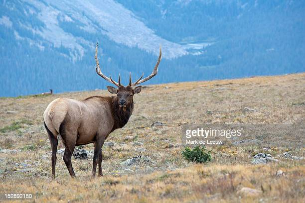 USA, Colorado, Rocky Mountains National Park, Stag looking away