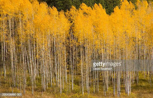 USA, Colorado, Steamboat Springs, Aspen trees (Populus Tremuloides)