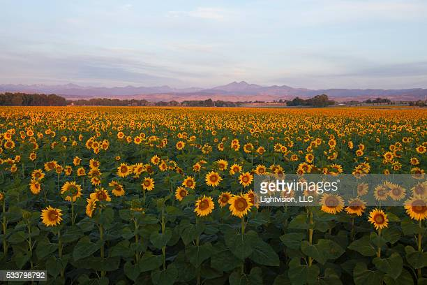 Colorado Sunflower Field