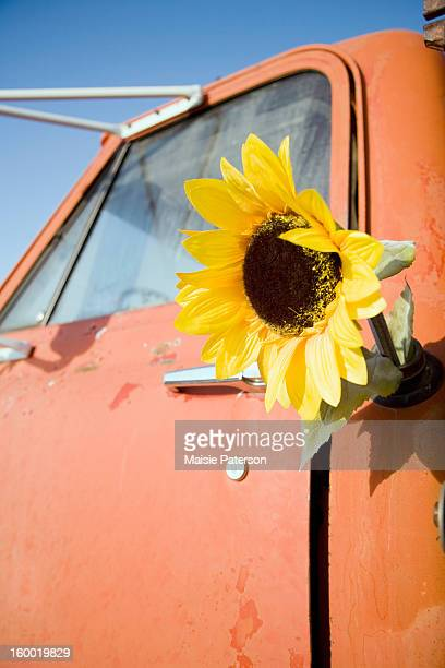 USA, Colorado, Sunflower in gas tank of old truck
