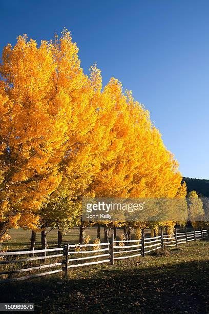 USA, Colorado, Trees in autumn foliage