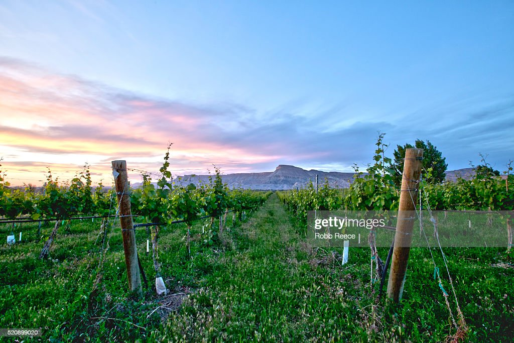 A Colorado vineyard with grapevines at sunset : Stock Photo