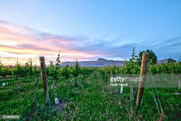 a colorado vineyard with grapevines at sunset - robb reece stock-fotos und bilder