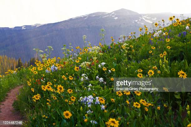 colorado wildflowers of crested butte - colorado stock pictures, royalty-free photos & images