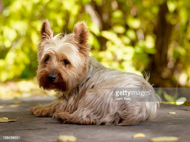 usa, colorado, yorkshire terrier lying down and looking at camera - yorkshire terrier stock pictures, royalty-free photos & images