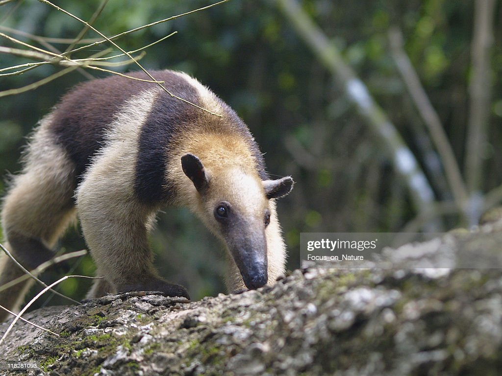 Colored Anteater : Stock Photo