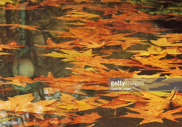 colored autumn leaves floating on water scene - オータムインターナショナル ストックフォトと画像