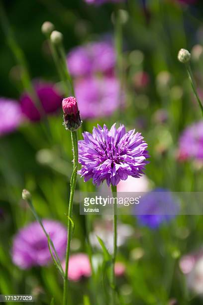 colored cornflowers - lutavia stock pictures, royalty-free photos & images