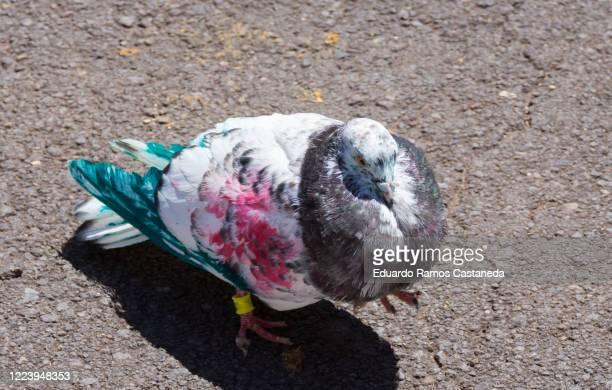 colored painted sport pigeons - pigeon forge stock pictures, royalty-free photos & images