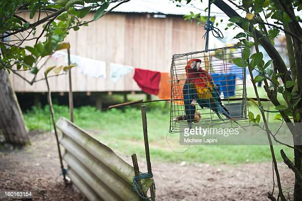 CONTENT] A colored parrot inside a cage in a backyards in Tiputini The amazonia area in Ecuador is one of the most biodiverse place in the world