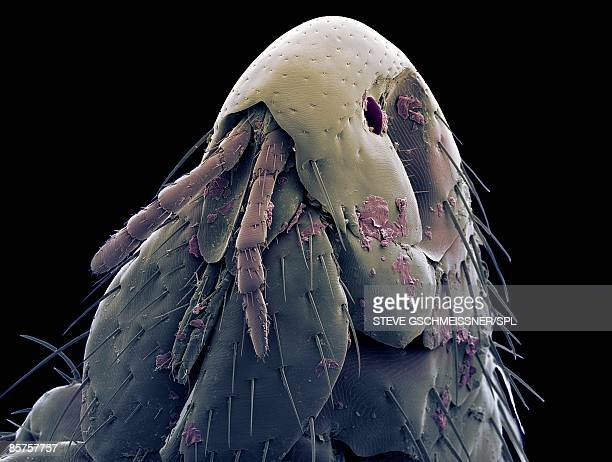 Colored scanning electron micrograph of cat flea