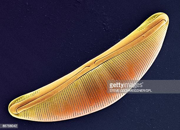 colored scanning electron micrograph(sem) - diatom stock photos and pictures