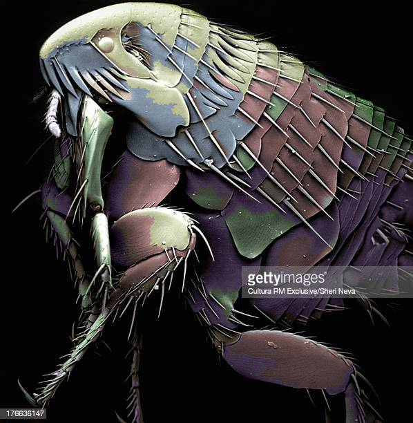 Colored SEM of a flea