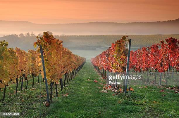 色のブドウ園の夜明けの秋の朝