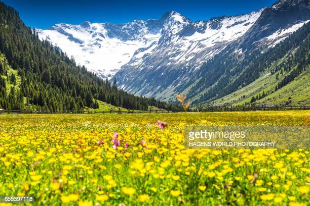Colorful alpine meadow in spring in Austria