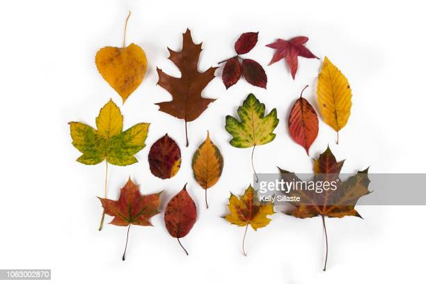a colorful arrangement of autumn leaves - oak leaf stock pictures, royalty-free photos & images