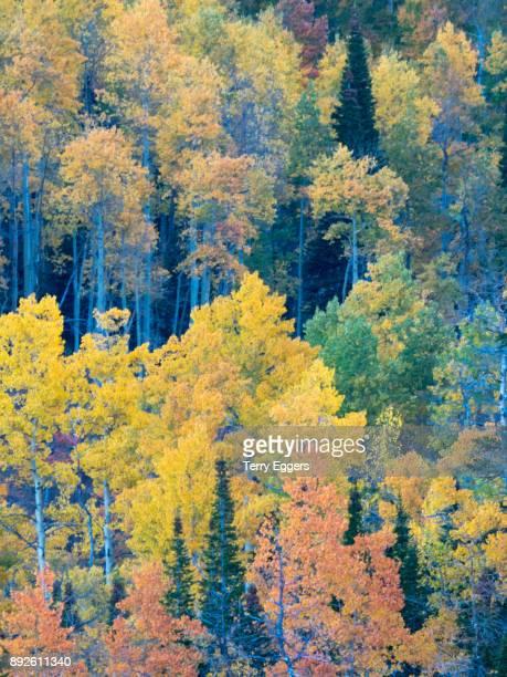 Colorful aspens in Logan Canyon Utah in the autumn