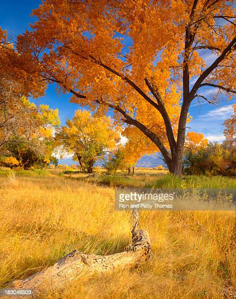 colorful autumn cottonwood trees and long grass - central california stock pictures, royalty-free photos & images