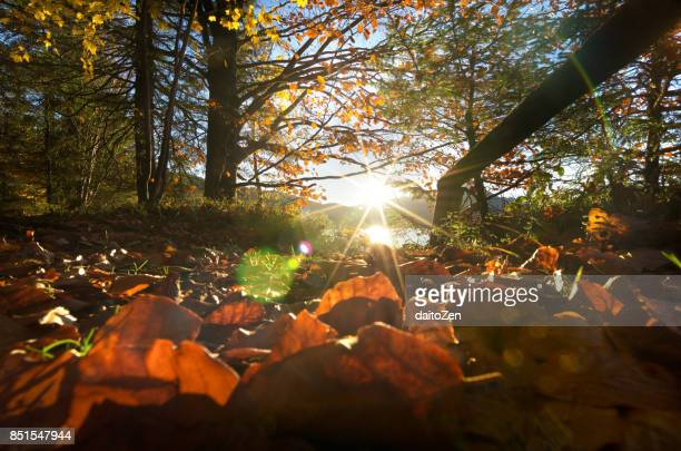 Colorful autumn leaves back lit by October sun, Lake Walchensee, Upper Bavaria, Germany