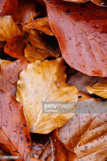 colorful autumn leaves with raindrops - dew stock pictures, royalty-free photos & images