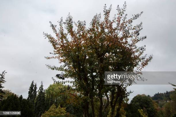 A colorful autumnal tree Impressions of the Fall in the capital of Piedmont Turin in Northern Italy on 1st November 2018