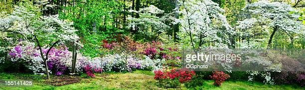 Colorful azalea garden and flowering dogwoods
