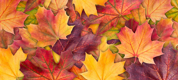 Colorful background of autumn maple tree leaves background close up. Multicolor maple leaves autumn background. High quality resolution picture 1034522498