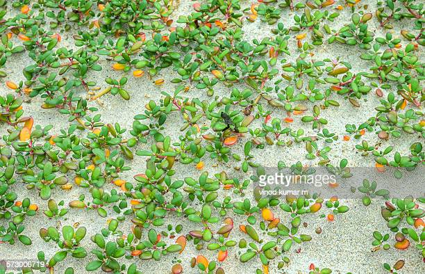 Colorful Beach Plant