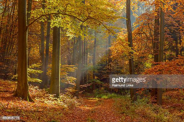 Colorful Beech Tree Forest