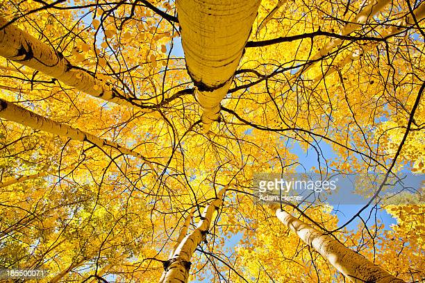 Colorful birch trees in fall with sun shining.