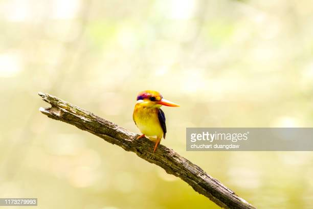 colorful birds, black backed kingfisher (oriental dwarf kingfisher) or  three-toed kingfisher - black dwarf stock pictures, royalty-free photos & images