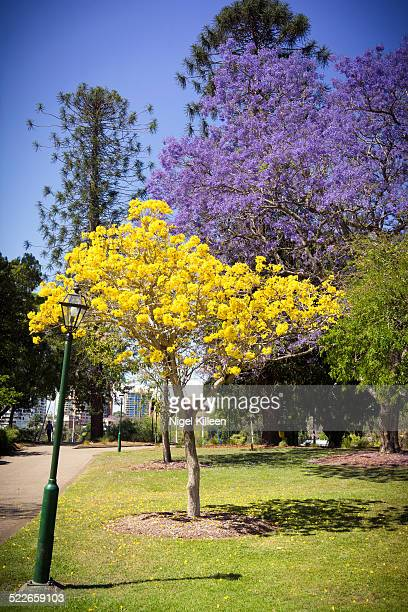 colorful blooming trees - jacaranda tree stock pictures, royalty-free photos & images