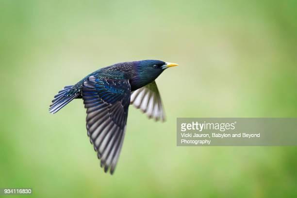 colorful blue starling in flight against green background - vogel stock-fotos und bilder