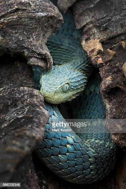 Colorful Blue Venomous Bush Viper Snake in Hollow Log