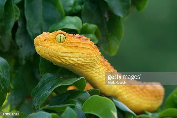 Colorful Bush Viper Snake Hunting in Rainforest - Poisonous Snake