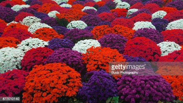 Colorful bushes of daisies on flowerbed in Park Avenue, Midtown Manhattan, New York City